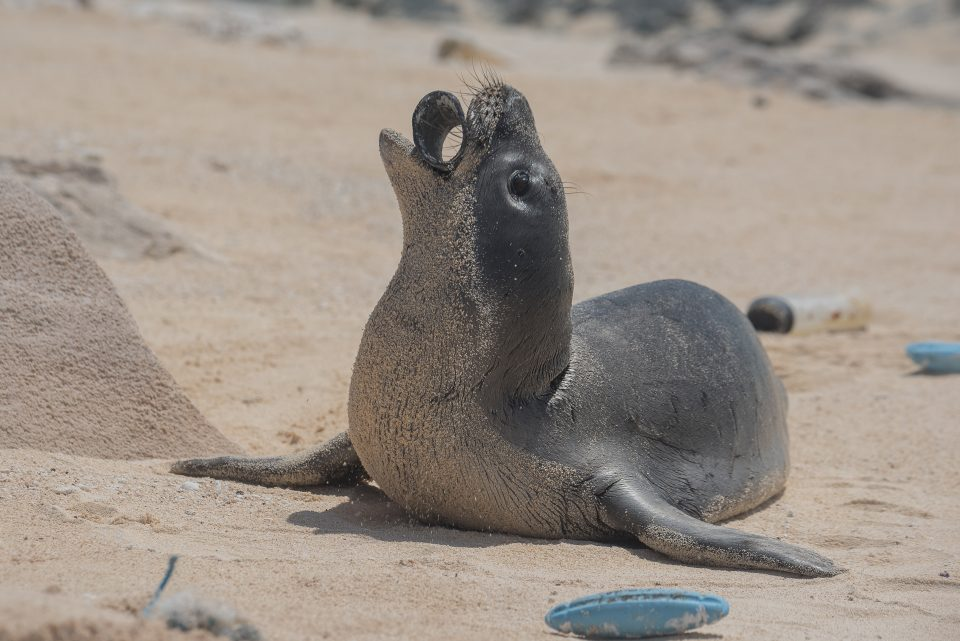 A young monk seal on Laysan Island holds a plastic fragment in his mouth. Photo credits: Matthew Chauvin