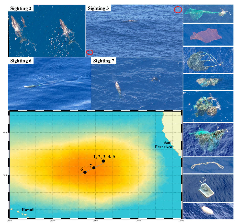 Whales likely impacted by Great Pacific Garbage Patch   The